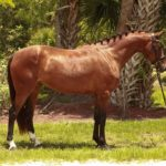 3 year old warmblood mare for sale