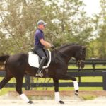 Warmblood stallion for sale four year old